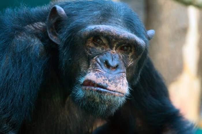 шимпанзе Саддам