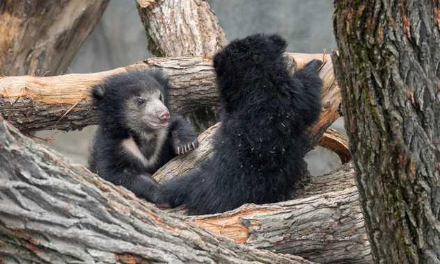 детеныши медведя-ленивца