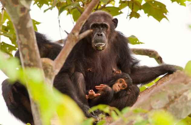 шимпанзе с ребенком