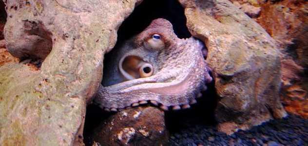осьминог в норе