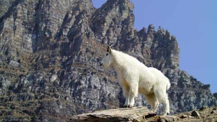 нападение горного козла
