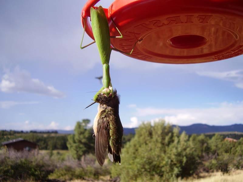 богомол поймал птицу