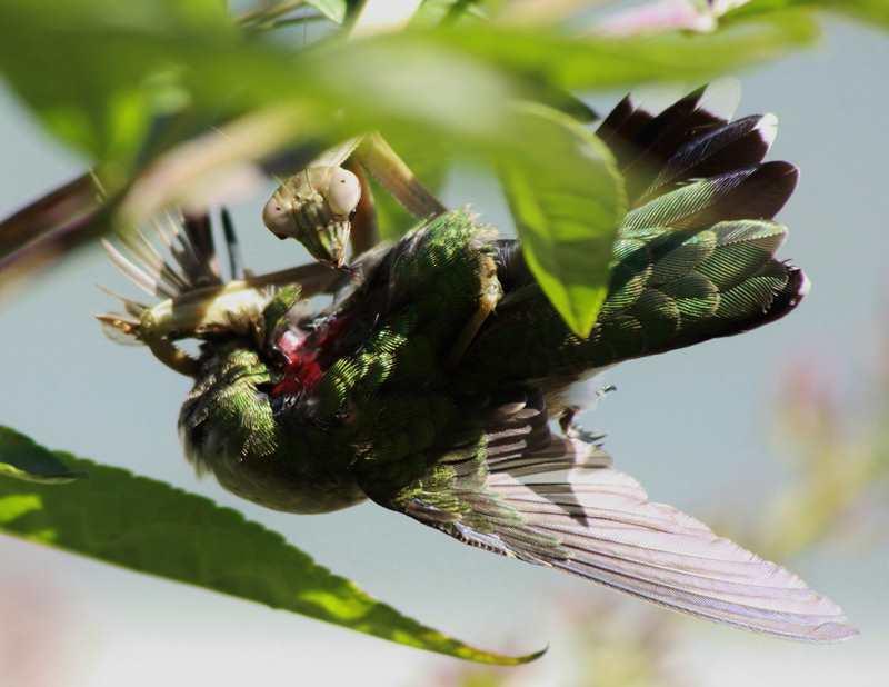 нападение богомола на колибри