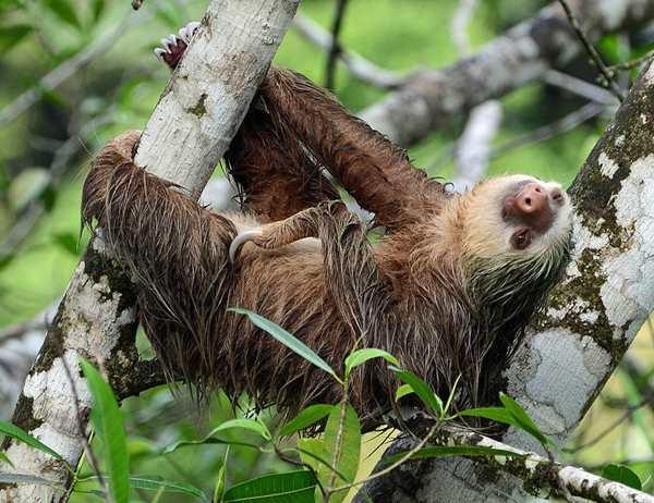 ленивец отдыхает на дереве