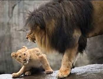 лев рычит на львенка
