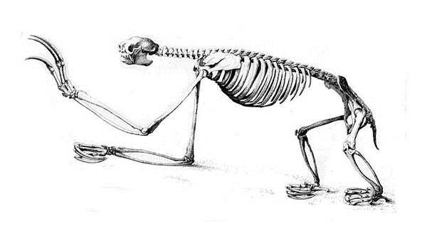 кости ленивца