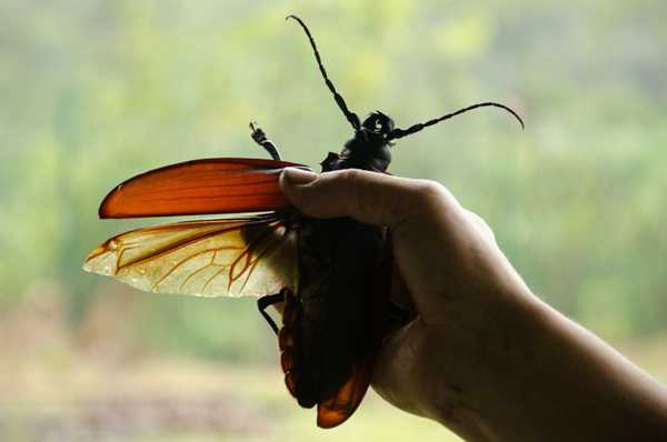 гигантский жук