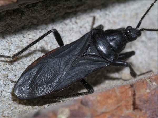 опасный жук