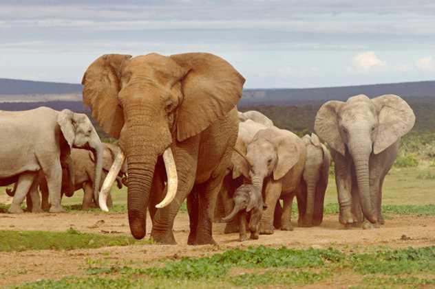 несколько слонов