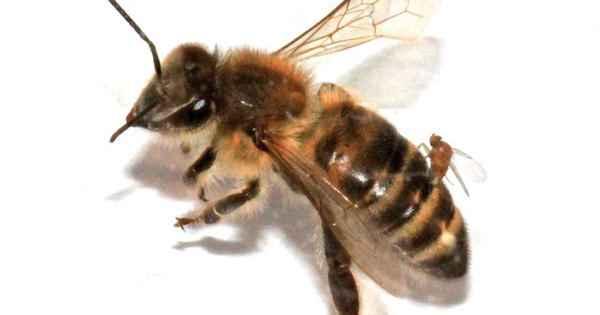 пчела с паразитом