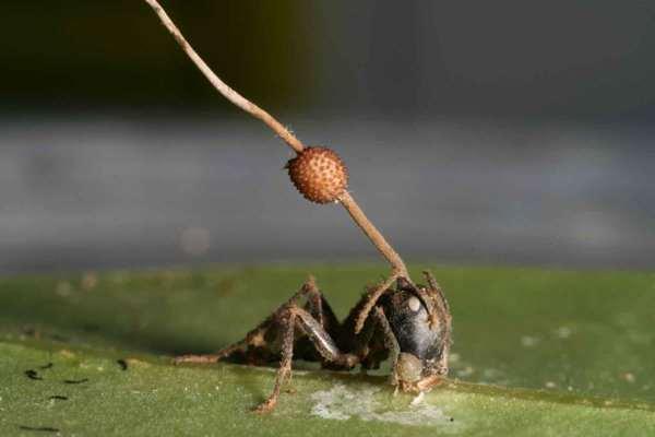 муравей зараженный грибом
