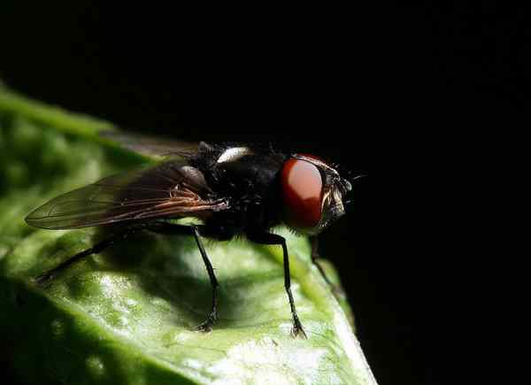 черная муха