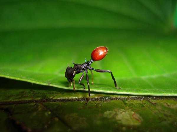 неотропический муравей