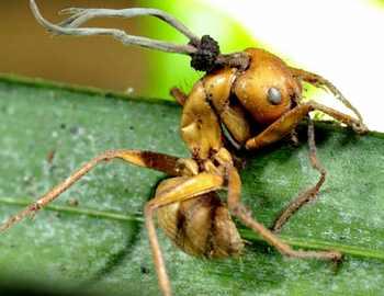 зомби-муравей