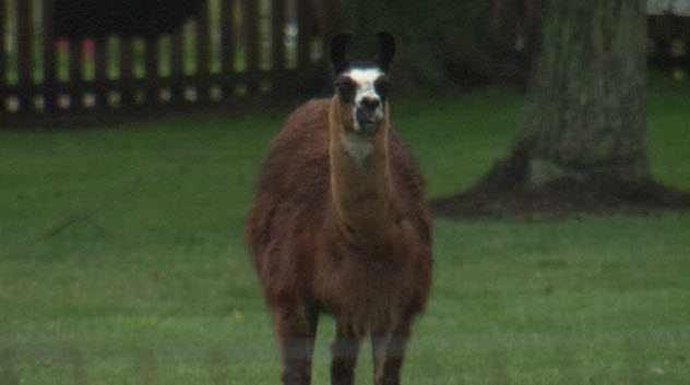 бежит лама