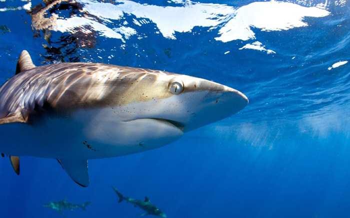 плывет акула