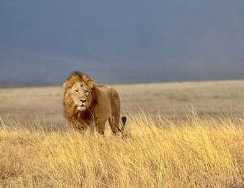 лев-путешественник