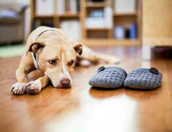 собака смотри на тапки хозяина
