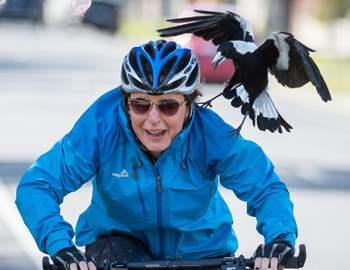 сорока нападет на велосипедиста