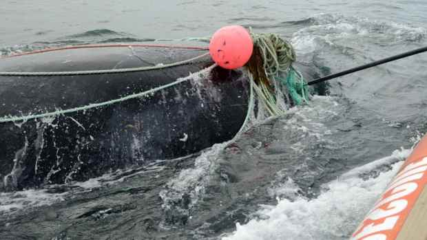 кит запутался в сети