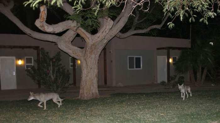 волки у дома
