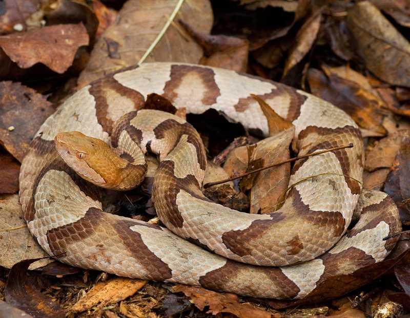 ядовитая змея из Америки