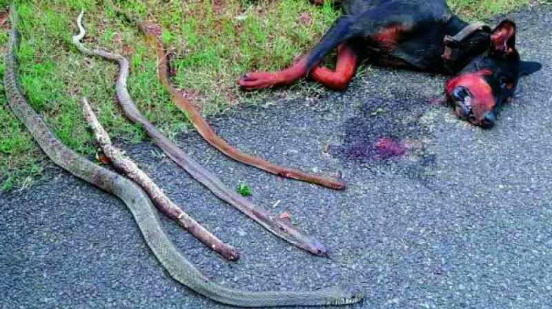 доберман и четыре мертвые кобры