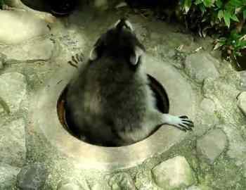 енот вылазиет из ямы