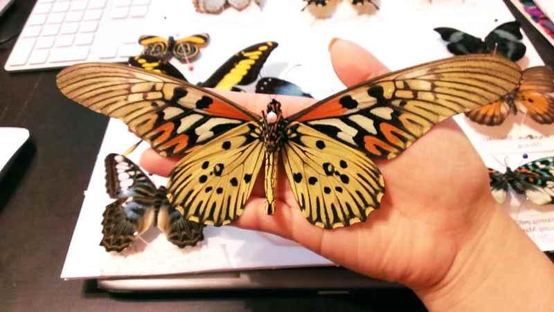 бабочка парусник атнимах