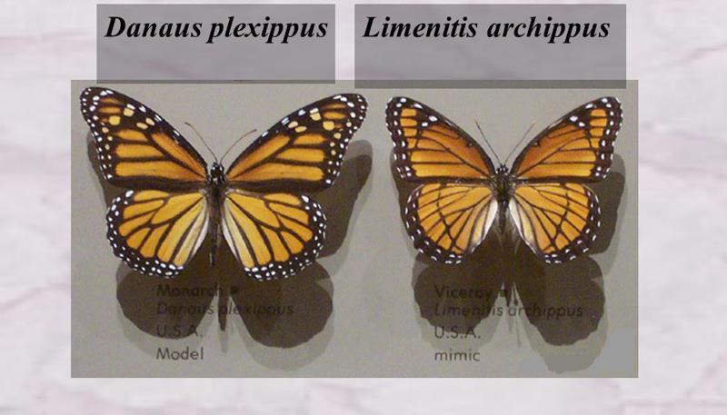 сравнение двух бабочек