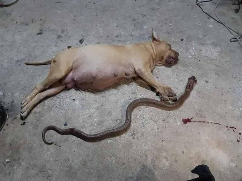 сучка питбуля убила кобру