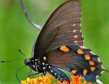 ядовитые бабочки