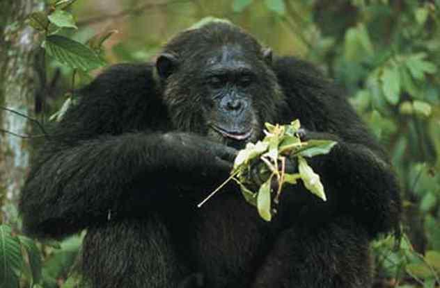 шимпанзе Фродо