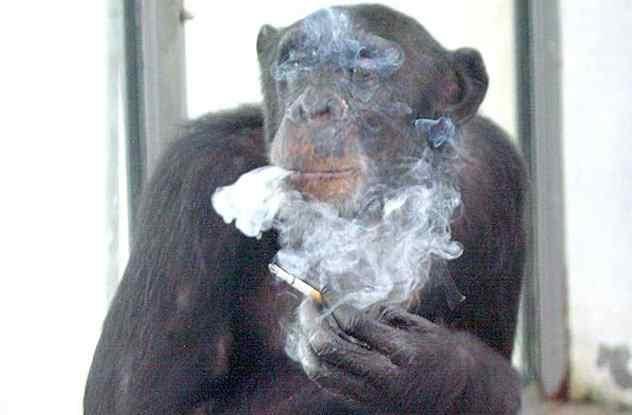обезьяна курит