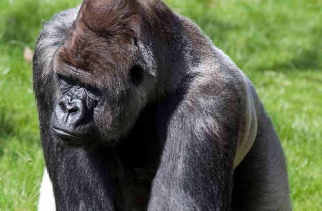 большая горилла