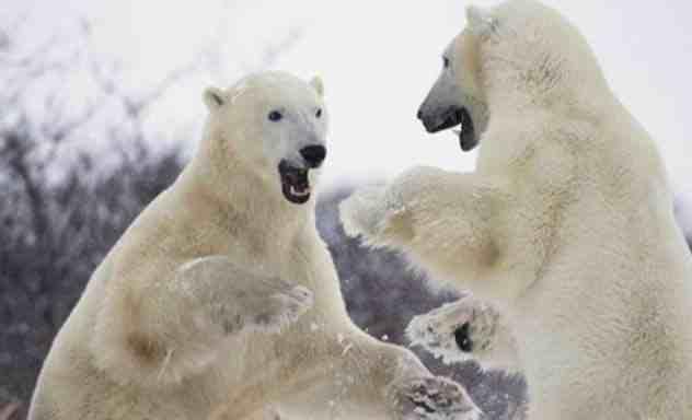 два полярных медведя