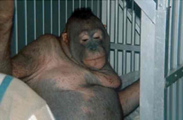 обезьяна-проститутка