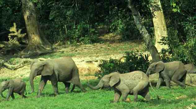 слоны в Либерии