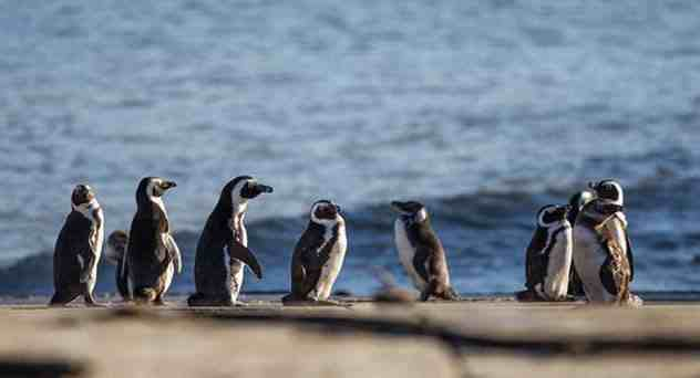 на берегу пингвины