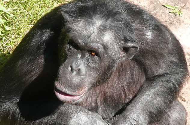 шимпанзе Сантино
