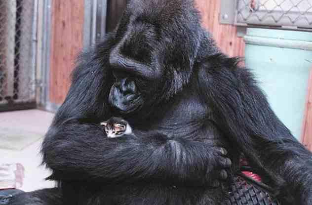 шимпанзе обнимает котенка