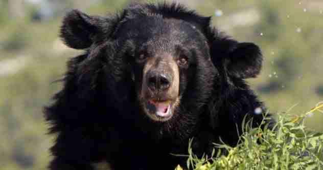 черный медведь в Сибири