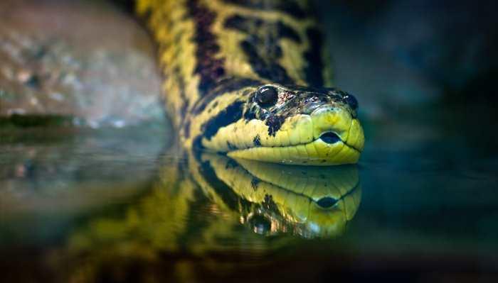 голова анаконды на воде