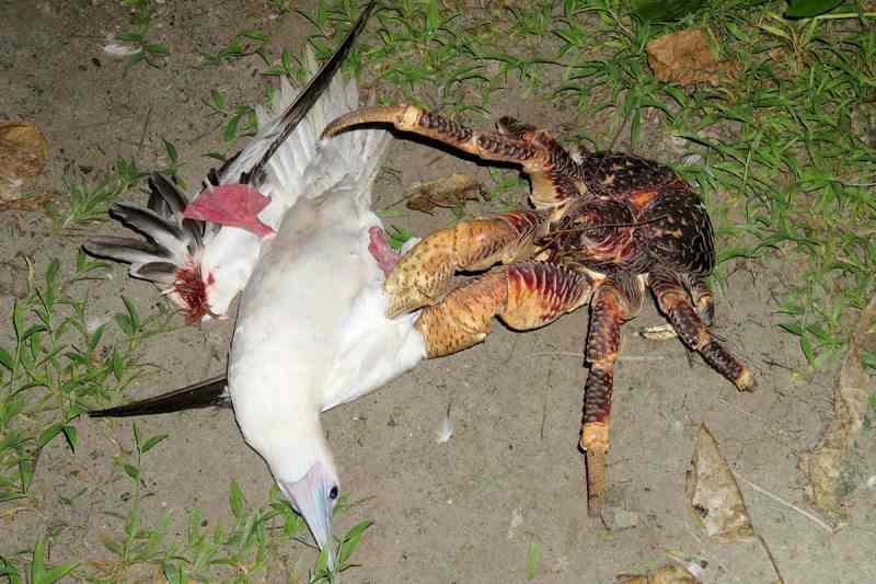 краб напал на островную птицу
