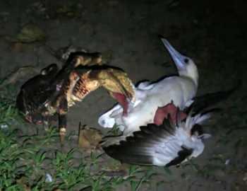 кокосовый краб поймал птицу