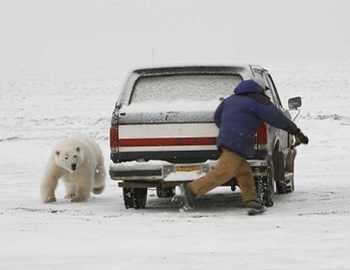 мужчина, машина и белый медведь