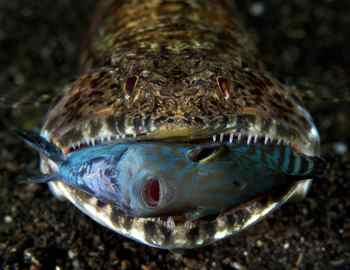 самые опасные рыбы в Амазонке