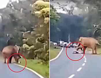 слон убил мужчину