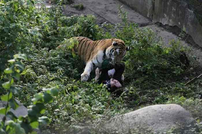 тигра лежит на женщине