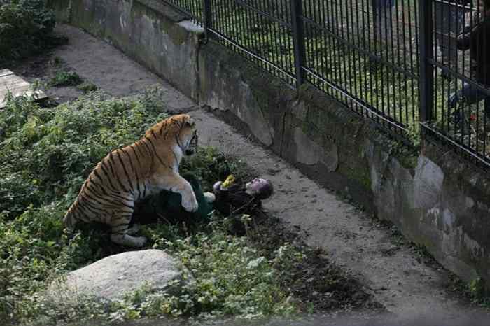 тигр нападает на лежащую женщину